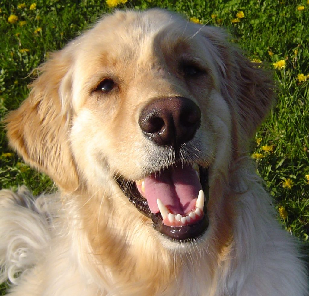 Golden Retriever with healthy smile