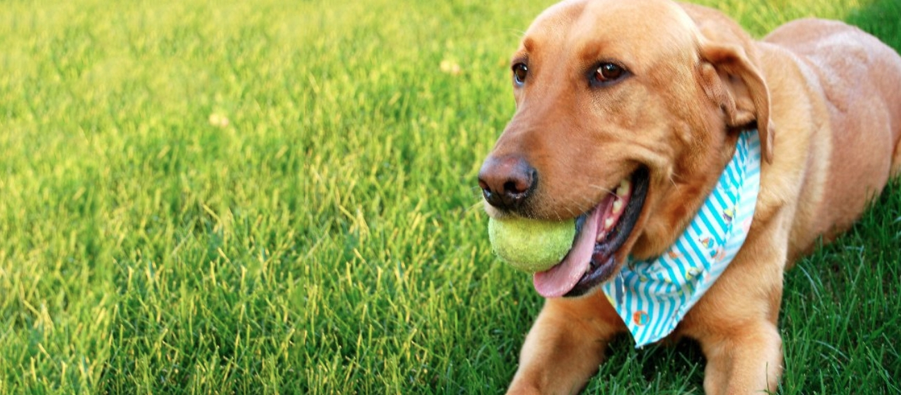 Golden Lab holding a tennis ball, lying in the grass - Homestead Veterinary Clinic in Baldwin, Wisconsin